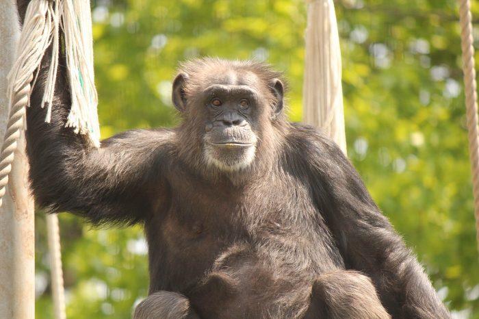 Adozioni a distanza per gli animali: come aiutare il simpatico scimpanzè Lulù